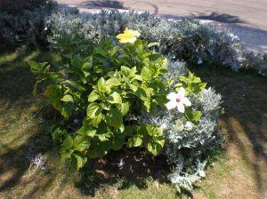 bunga kebangsaan nasional dengan warna yang unik dijumpai di montaza =)