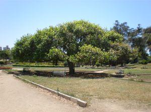 pohon rendang itu